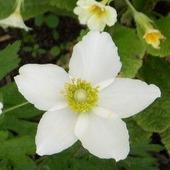 Mały biały wiosenny