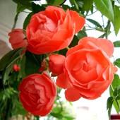 Mili - te różyczki dla Was na dobry wieczór.