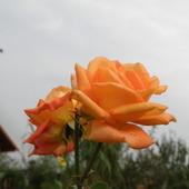 róża z  wykazem.....