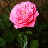 Różowo...:)