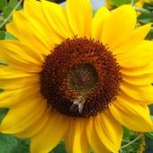 Słoneczne słoneczko słonecznikowe