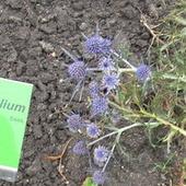 Variifolium