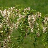 Wiosenna akacja.