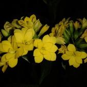 Żółte kalanchoe