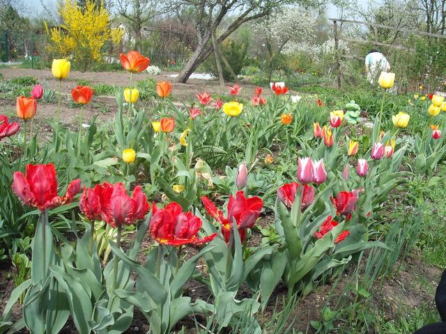 Moje tulipy dwa lata temu
