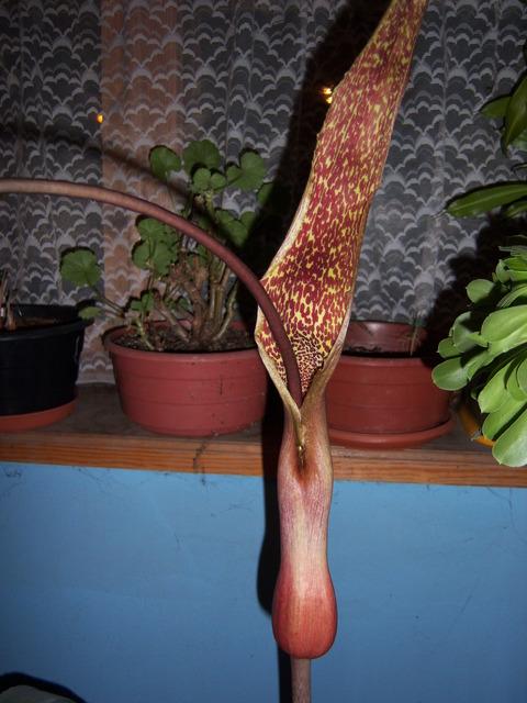 Sauromatum venosum (Pałczycha kroplista)