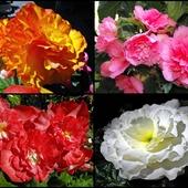 Bulwiaste róże :-)