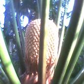 Cycas circinalis-kwitnie