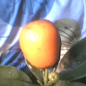 fukushu kumquat owoc