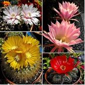 Kaktusowy mix kwiatowy