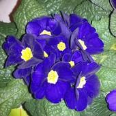 Kawałeczek wiosny- Primula acaulis