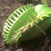 Muchołówka amerykańska - Dionaea muscipula paszcze ;) jedna trawi pająka