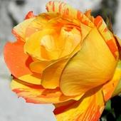 Słoneczna róża na nowy tydzień:)