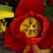 Tulipanowo i pączkowo dziś było