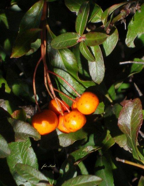 Owoce krzewu