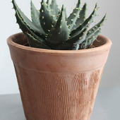 Aloes  peglerae