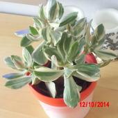 crassula variegata