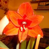Czerwony amarylis