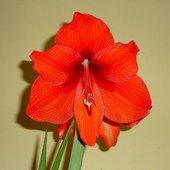 Domowy kwiat