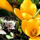 Jedne kwitną, inne jeszcze nie, ale nabierają kolorów.