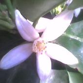 Kalamondynowy kwiatuszek