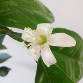 Kwiat mandarynki