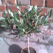 Oliwka europejska -(drzewo oliwne)-Olea europaea