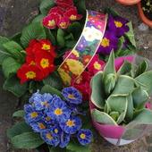 prymulki i tulipan