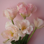 Tulipany Angelika