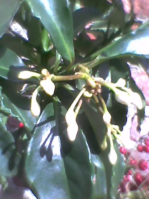 Ardizja karbowana - Ardisia Renata  ma pączki kwiatowe