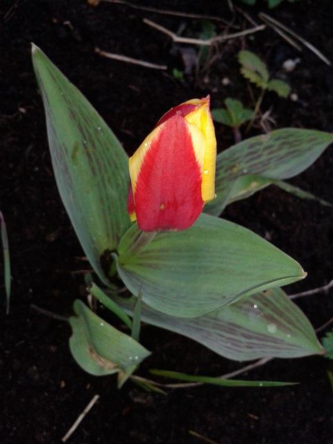 mój drugi tulip