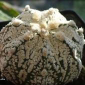 Astrophytum 'Superkabuto' x A.coahuilense