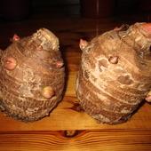 Colocasia esculenta (Kolokazja jadalna)