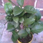 Cytrus Vulcan Lemon (forma pienna)