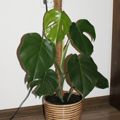 Filodendron - monstera