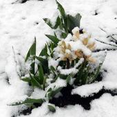 Hiacynt w śniegu