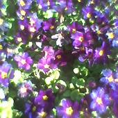 kwitną...