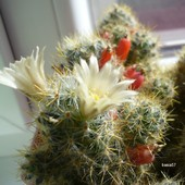 Mammillaria prolifera ssp.texana