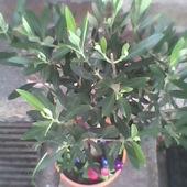 Oliwka europejska  (drzewo oliwne-Olea europaea ) w wiosennej odsłonie ;)