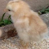 Słodziaki -kurczaki:)