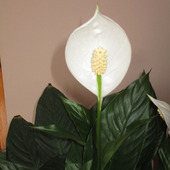 Spathiphyllum (Skrzy
