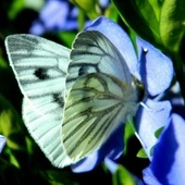 Też mam motylka,