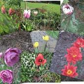 Tulipanowe co nieco