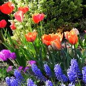 Tulipany i szafirki w moim ogrodzie