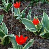 Tulipany i liście