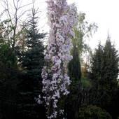 Wiśnia piłkowana Amanogawa -Prunus serrulata Amanogawa