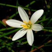 Zefirant biały
