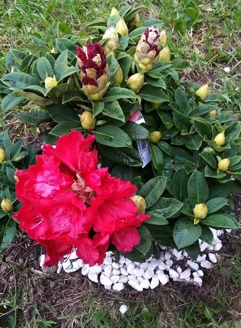 moje cudeńko rozkwita....pierwszy kwiat w moim ogródeczku...