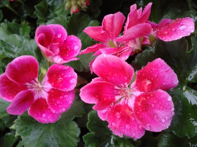 Różowiutkie na targu