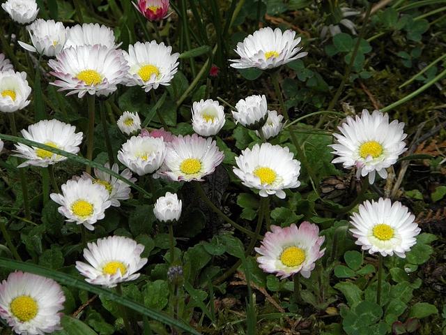 skromne i piękne na trawniku